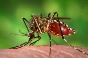 Fêmea do mosquito Aedes aegypti, processo de obtenção de sangue. (US Department of Health and Human Services)