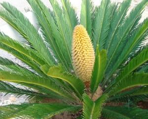 Cycas revoluta, cicadófita similar à Cycas micronesica, planta consumida pelo povo Chamorro.