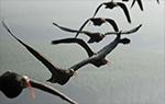 Drones autônomos se agrupando como pássaros