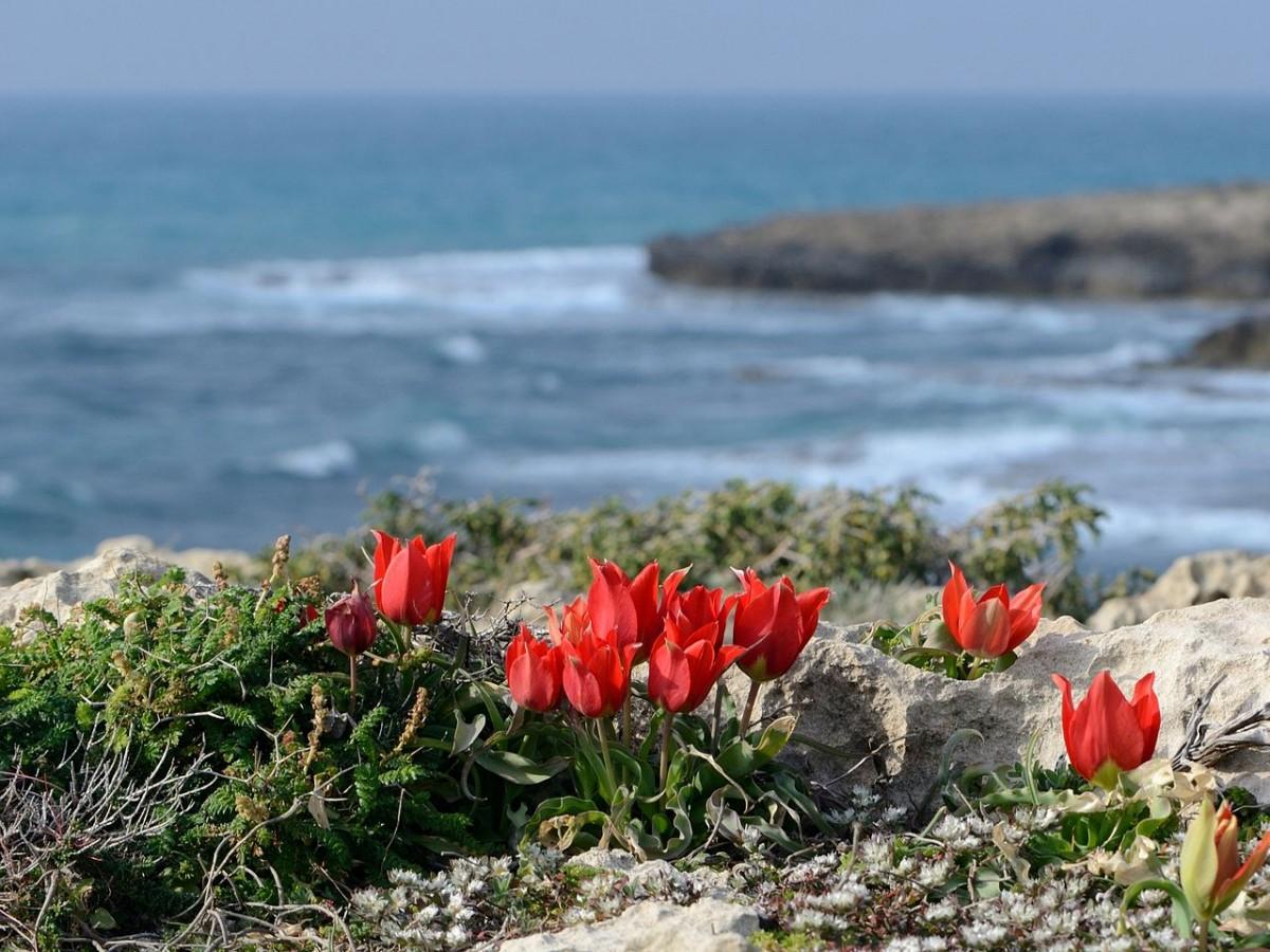Tulipa agenensis sharonensis.